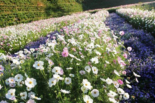 F cánh đồng hoa
