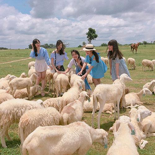 nông trại cừu Châu Đức